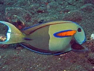Ikan Keranjang Bali jenis ikan hias air laut dunia akuarium