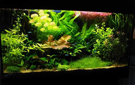aquascape plants list aquascape plants list super red ludwigia ludwigia repens