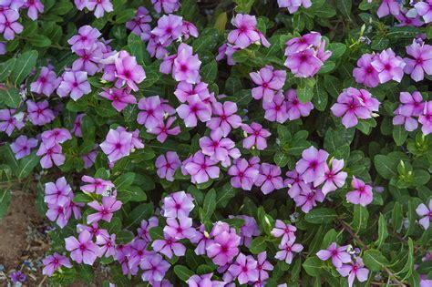 cural impatance of rosy periwinkle catharanthus roseus search in pictures