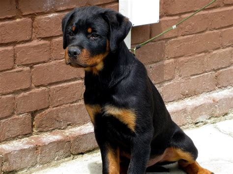 images of rottweilers file rottweiler 1 jpg