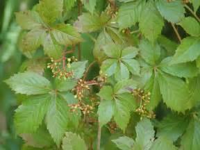 parthenocissus quinquefolia wikipedia