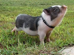 pot bellied pig pet pot bellied pigs baby animal zoo