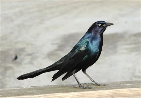 grackles vs european starlings what the difference