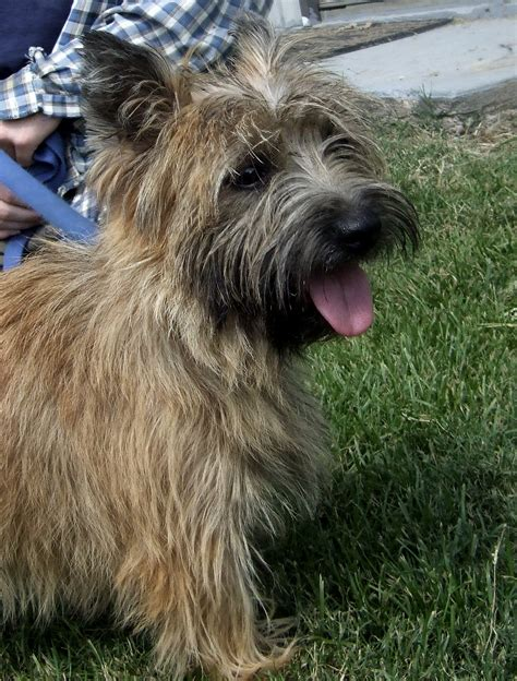 free cairn terrier puppies shers up wits end ranch