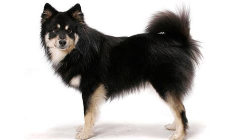 lapphund puppies lapphund breed information
