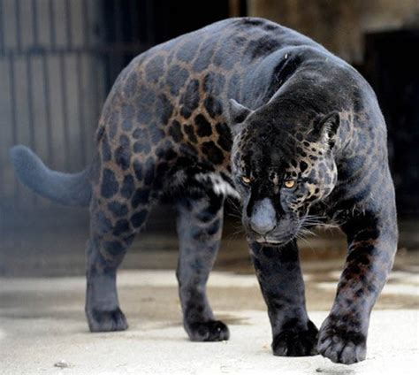 How Many Jaguars Are Left In The World 10 Melanistic All Black Animals 171 Twistedsifter