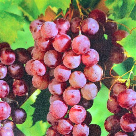 grape seedless vanessa arts nursery