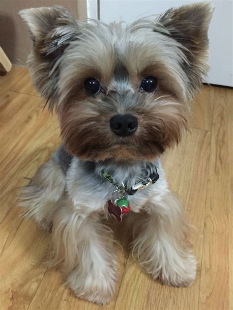 yorkie supplies 17 best images about yorkies on pet accessories puppys and yorkie