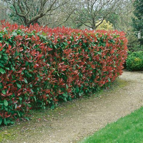Photinia Hecke Robin by Photinia Robin Arbustes Pour Haies Meilland Richardier