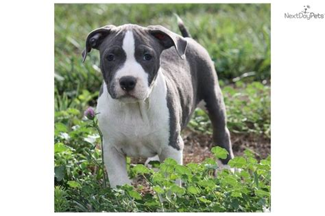 pocket pitbull puppies american pit bull terrier puppy for sale near lima findlay ohio 077c06eb 6ed1