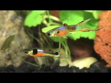 download mp3 from guppy how to breed hybrid molly s and guppies download youtube mp3