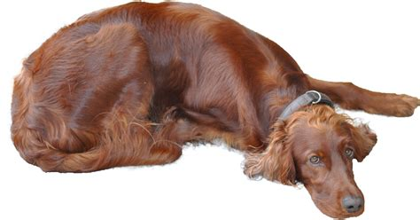 irish setter dog wiki file irishsetter png wikimedia commons