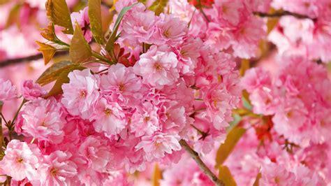 flowers cherry blossom wallpapers airwallpapercom