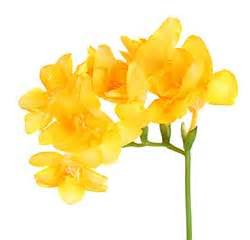 fiore definition freesia definition and meaning collins dictionary