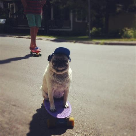 pug board 17 best images about boards on glow vinyls and blue and