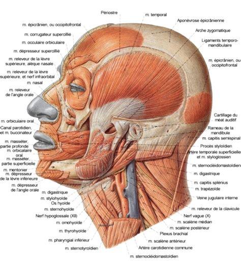 vue lat 233 rale des muscles faciaux de la mastication et du