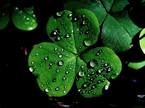 st patrick s day shamrocks cool images