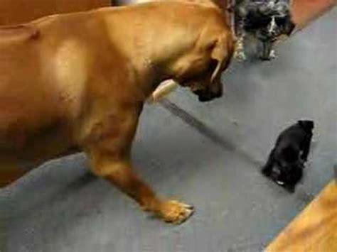 pugnacious pug larry and pugnacious pug puppy