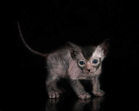 For Cats by Kittens Lykoi Cats The Original Lykoi Breeder