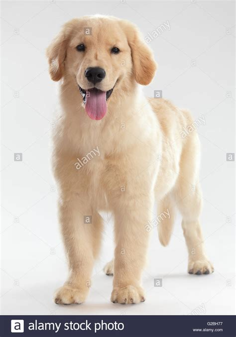 4 month golden retriever golden retriever posing stock image breeds picture