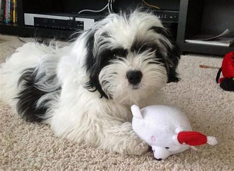 white shih tzu poodle mix the world s catalog of ideas
