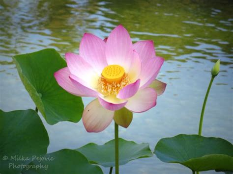 lotus flower seeds best 25 lotus flower seeds ideas on lotus