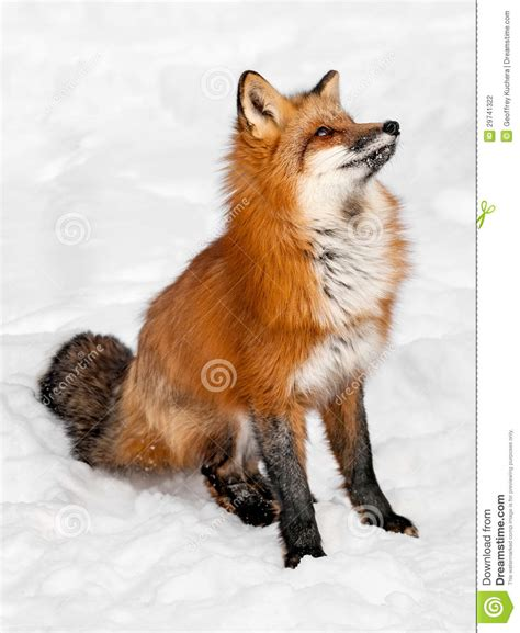 fox looking fox vulpes vulpes sits in the snow looking up stock photography image 29741322