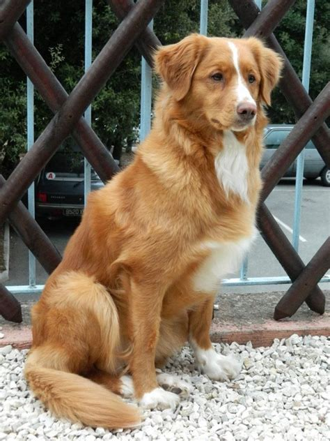 duck toller puppy 1000 ideas about toller on dogs dogs and puppies
