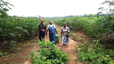 Graine De Manioc by Programme Graine Ngouni 233 Une R 233 Colte De 1 700 Tonnes De
