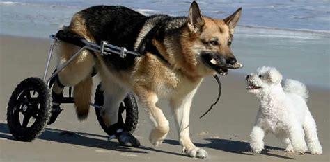 wheelchairs for dogs carts wheelchairs for dogs and other animals bagofnothing