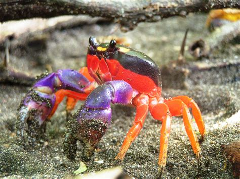 imagenes de halloween wikipedia file halloween crab jpg wikimedia commons