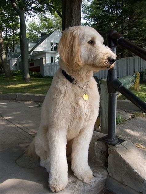 how to cut a goldendoodles hair 25 best ideas about goldendoodle haircuts on pinterest