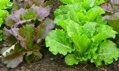 how to grow a salad and smoothie garden palmers garden