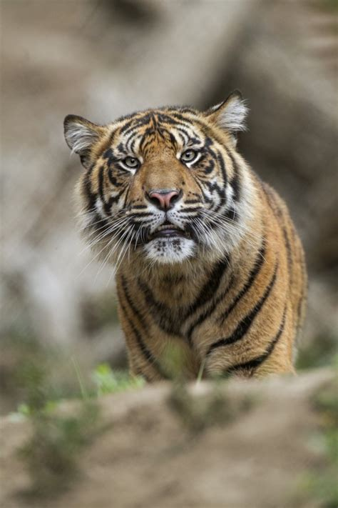 facts about the new year tiger 21 terrific tiger facts