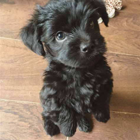 terrier havanese gorgeous havanese terrier cross puppies for sale grays essex pets4homes