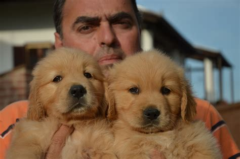 golden retriever house golden retriever house golden retriever goldens house foto 20 266518
