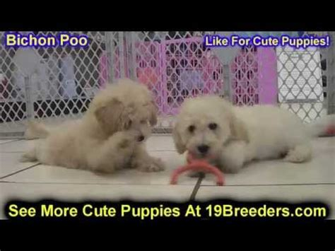 puppies for sale in ky craigslist bichon poo puppies dogs for sale in louisville kentucky ky