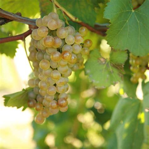 buy chardonel grape vines for sale double a vineyards