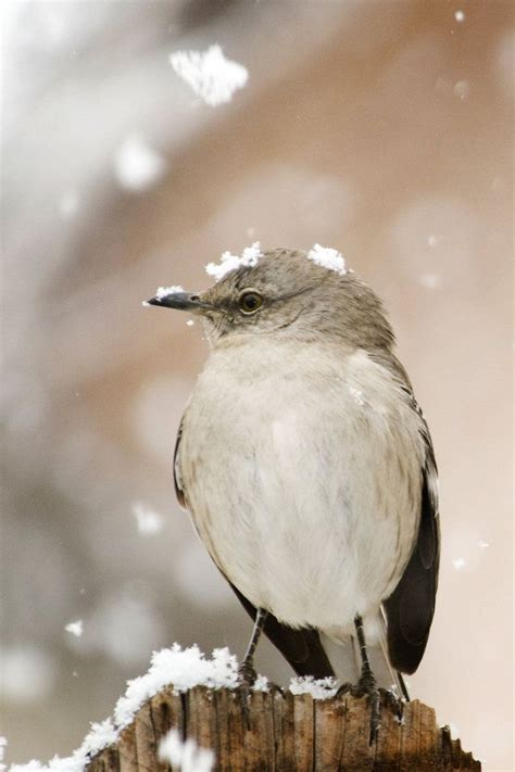 17 best images about all about northern mockingbirds on
