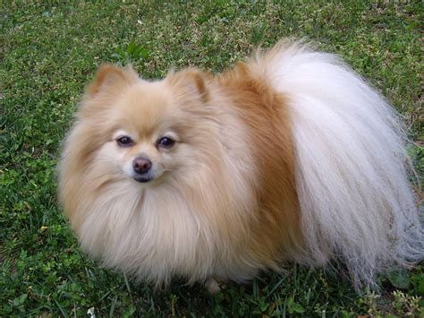 toys for pomeranian pomeranian pictures all2need