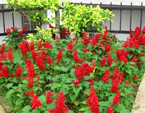Bibit Tanaman Scarlet Salvia tanaman scarlet salvia bibitbunga