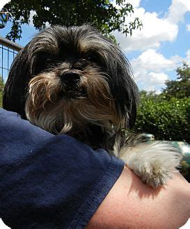 houston shih tzu houston tx shih tzu mix meet chealce a for adoption