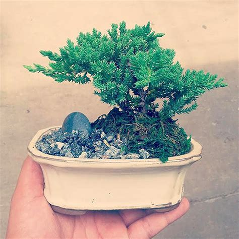 choosing growing bonsai how to choose a bonsai tree