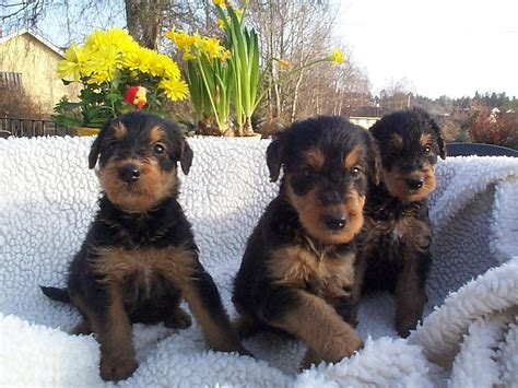 airedale puppies three airedale terrier puppies photo and wallpaper beautiful three airedale