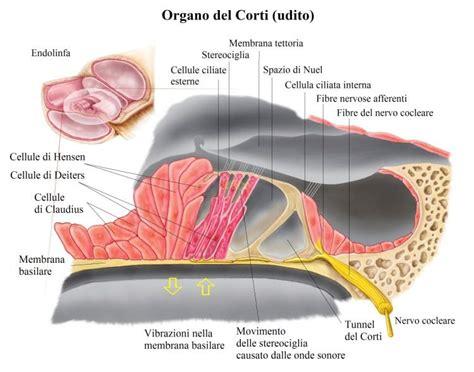 pavimento quarto ventricolo vie acustiche fisioterapia rubiera