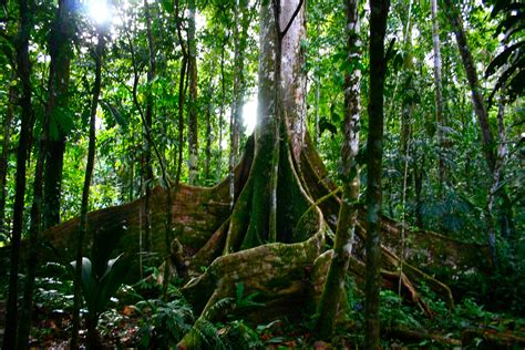 amazon forest growing forests gobble up carbon like growing teenagers