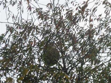 nid de frelons sous les tuiles gu 202 pes frelons asiatiques frelons europeens