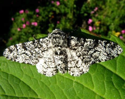 Peppered Moth peppered moth naturespot