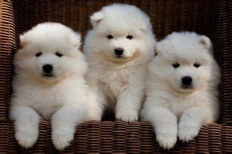 samoyed puppies for sale in ohio the 25 best samoyed puppies for sale ideas on samoyed puppies samoyed