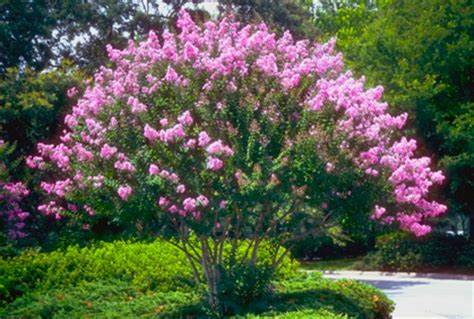 fast growing trees shrubs pictures landscaping ideas